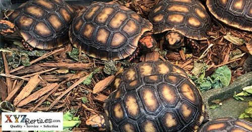 Where can I find a red footed tortoise for sale?