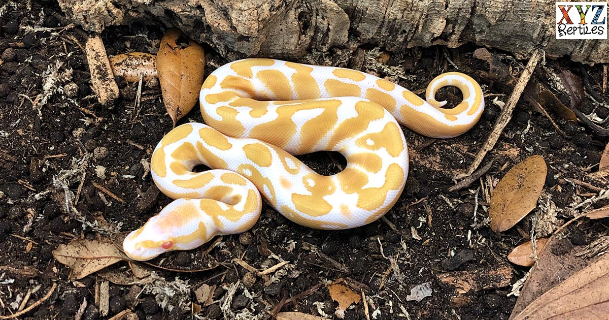 Is the albino ball python the original ball python morph?