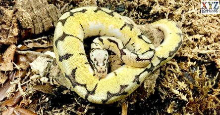 Why are bumblebee ball python morphs so popular?