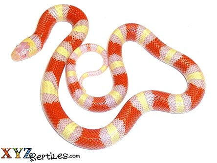 albino nelsons milk snake for sale