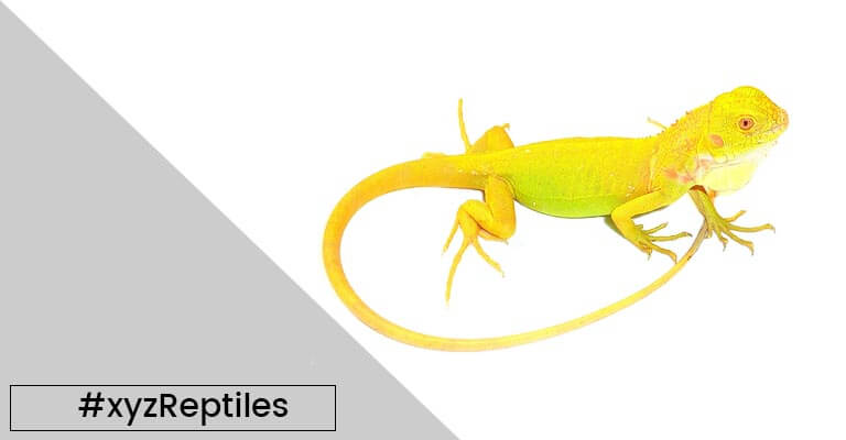 Reptiles for Sale | Online Reptile Store | Reptile Pets - xyzReptiles