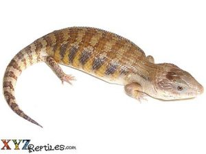 baby northern blue tongue skink for sale