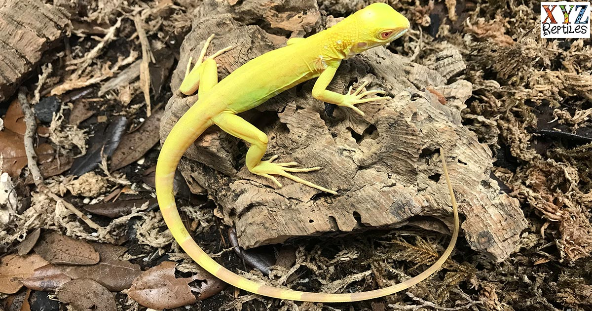 does the albino iguana make a good pet lizard