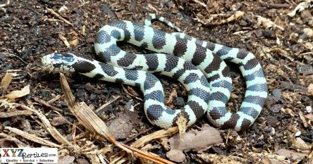 finding the beautiful California kingsnake