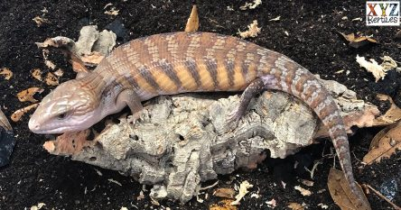finding the northern blue tongue skink for sale