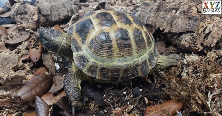 keeping the Russian tortoise as a reptile pet