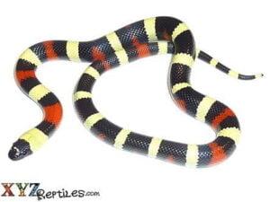 pueblan milk snake for sale