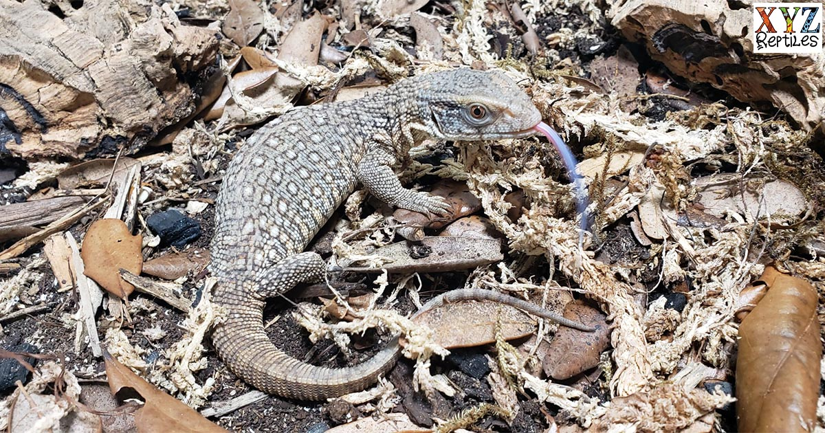 what are some of the best pet lizards for sale