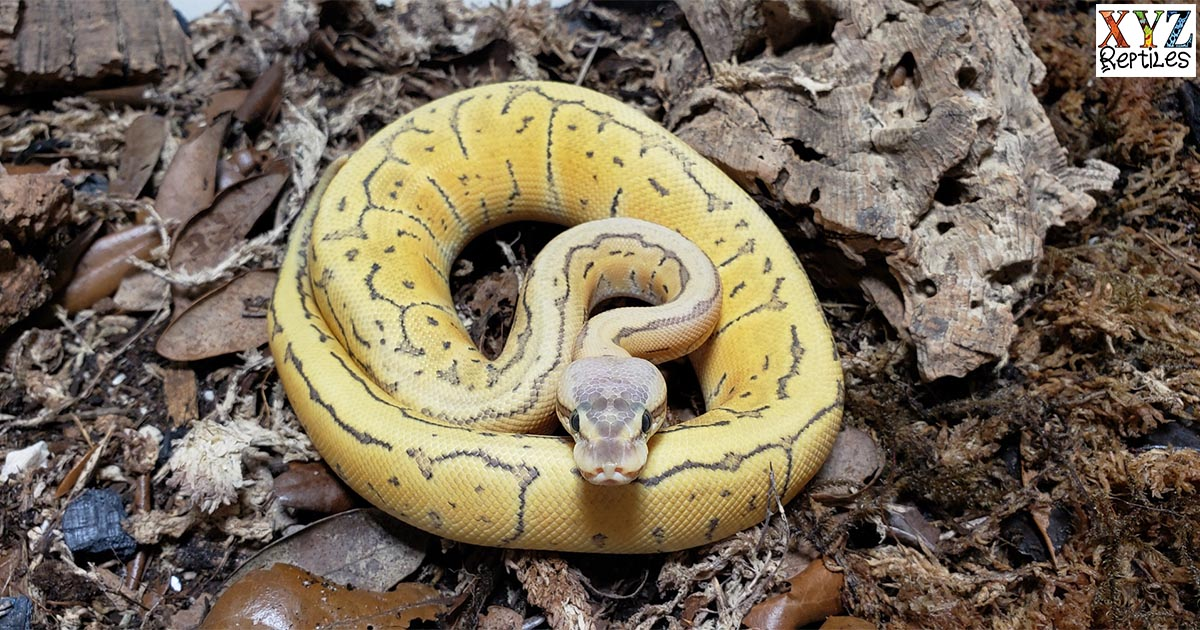 why are ball pythons such popular snakes