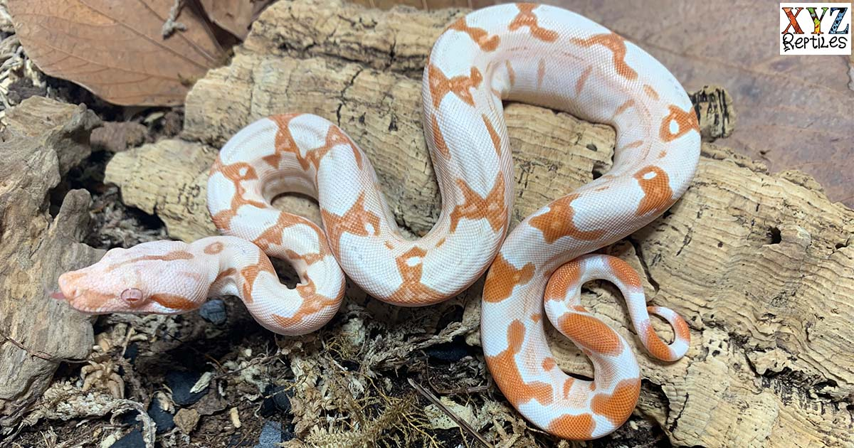 Popular Red Tail Boas For Sale Online By xyzReptiles