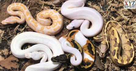 Where is the best place to buy ball pythons?