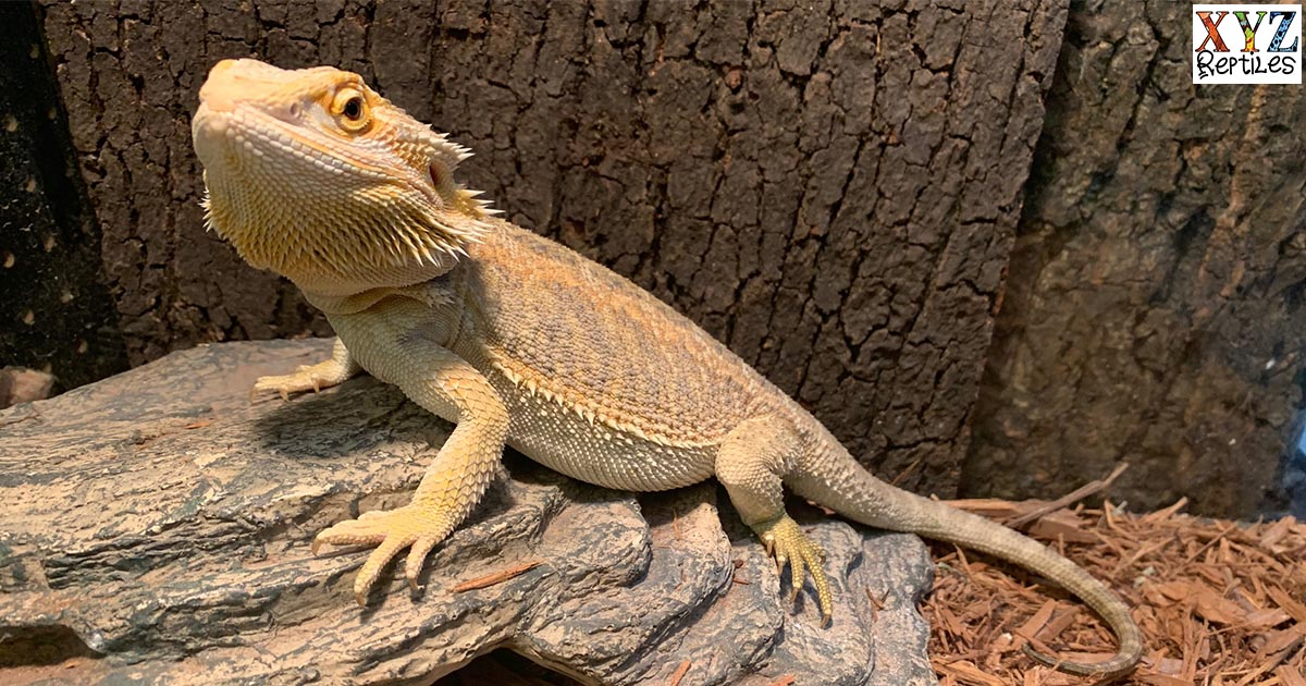 Proper Bearded Dragon Lighting To Ensure A Healthy Reptile Pet