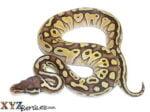 Baby Pastel Lesser Ball Python