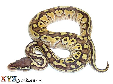 baby pastel lesser ball python for sale