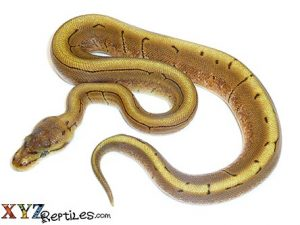 baby spinner ball python for sale