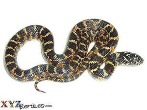 baby florida king snake for sale