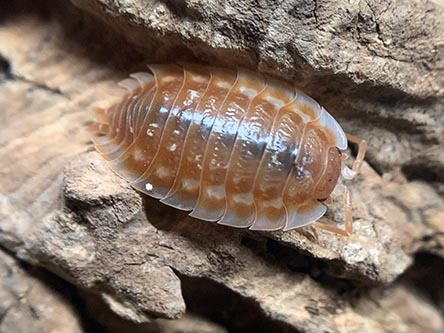 B.C. maple isopods for sale oniscus asellus