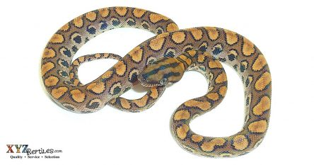 buying baby rainbow boas