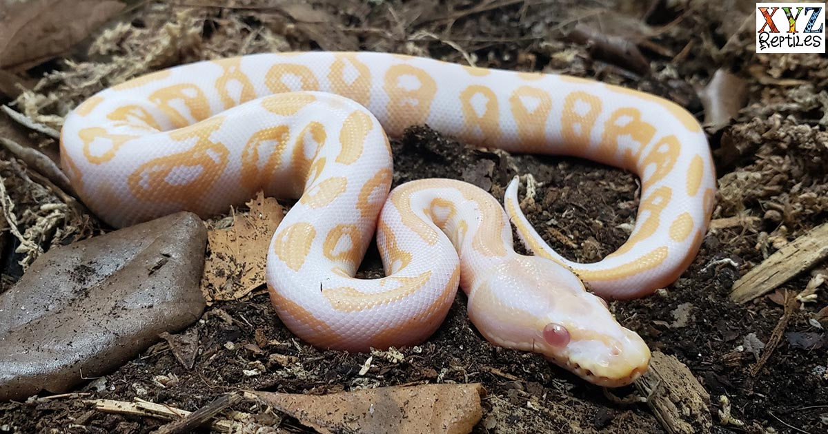 What Are Some Popular Albino Ball Python Morphs For Sale?