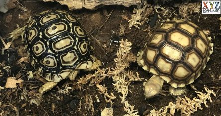 popular grassland tortoises for sale