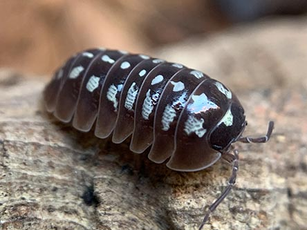 pudding isopods for sale Armadillidium klugii