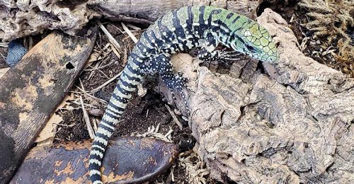 baby argentine tegu for sale