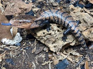 baby indonesian blue tongue skink for sale