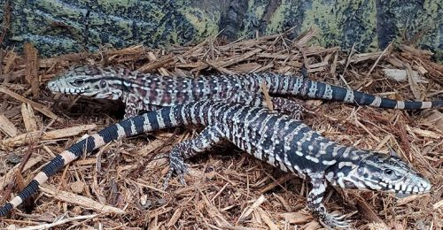 red tegus for sale