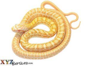 albino japanese rat snake for sale