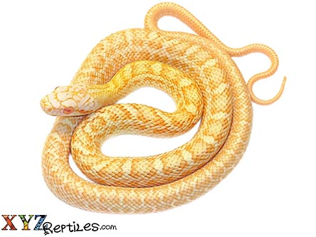 albino japanese rat snake for sale