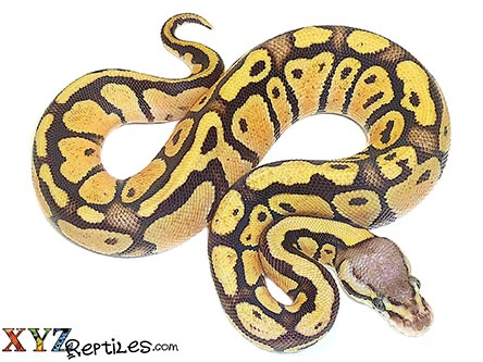 baby firefly ball python for sale