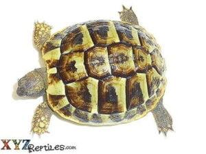 baby Hermann tortoise for sale