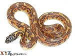 Baby Hypo Mosaic Florida King Snake
