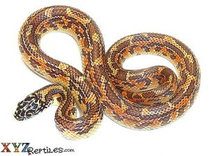 baby hypo mosaic florida king snake for sale