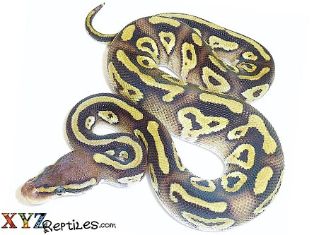 baby pastave ball python for sale