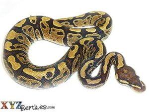 baby vanilla ball python for sale