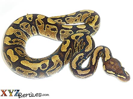 baby vanilla ball python for sale