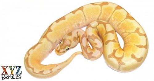 banana spider ball python