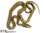 Baby Asian Beauty Rat Snake