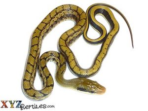 baby asian beauty snake for sale