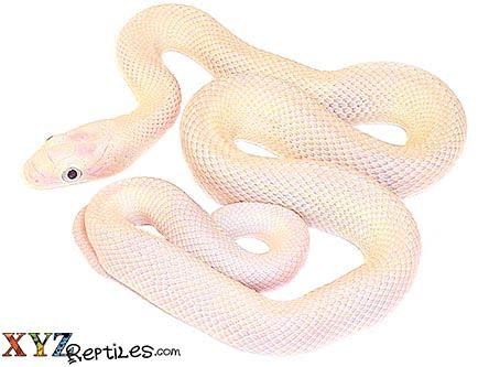 Baby Black Eyed Leucistic Texas Rat Snake