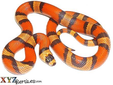 Hypo Honduran Milk Snake For Sale