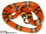 Tangerine Honduran Milk Snake For Sale