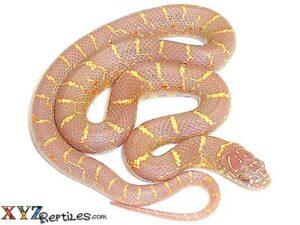 albino florida king snake for sale