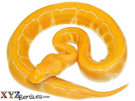 Baby Albino Pinstripe Ball Python