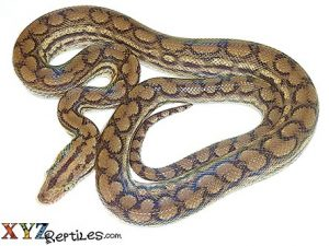 baby colombian boa for sale