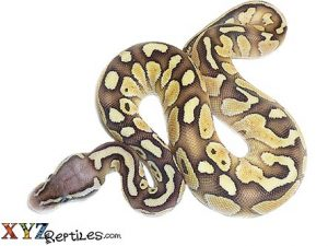baby pastel butter ball python for sale