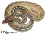 Baby Highway Ball Python