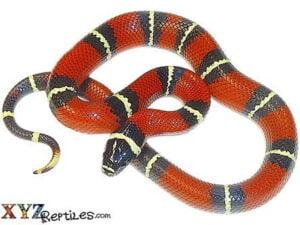 nelsons milk snake for sale