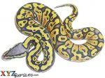 Baby Pastel Ghost Ball Python